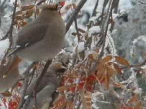 bird on mountain ash tree in snow